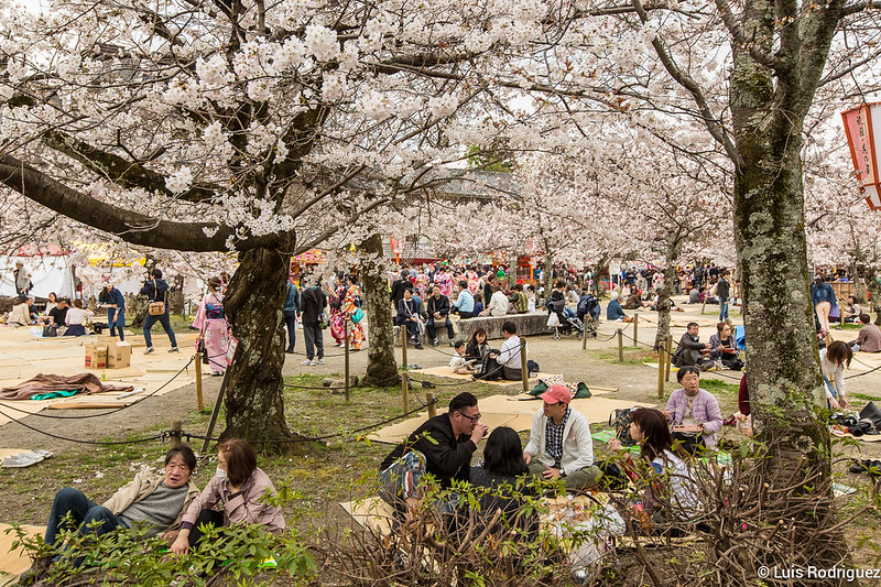 Cerisiers en fleurs dans le parc Maruyama de Kyoto