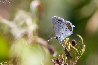 """Short-tailed Blue"""