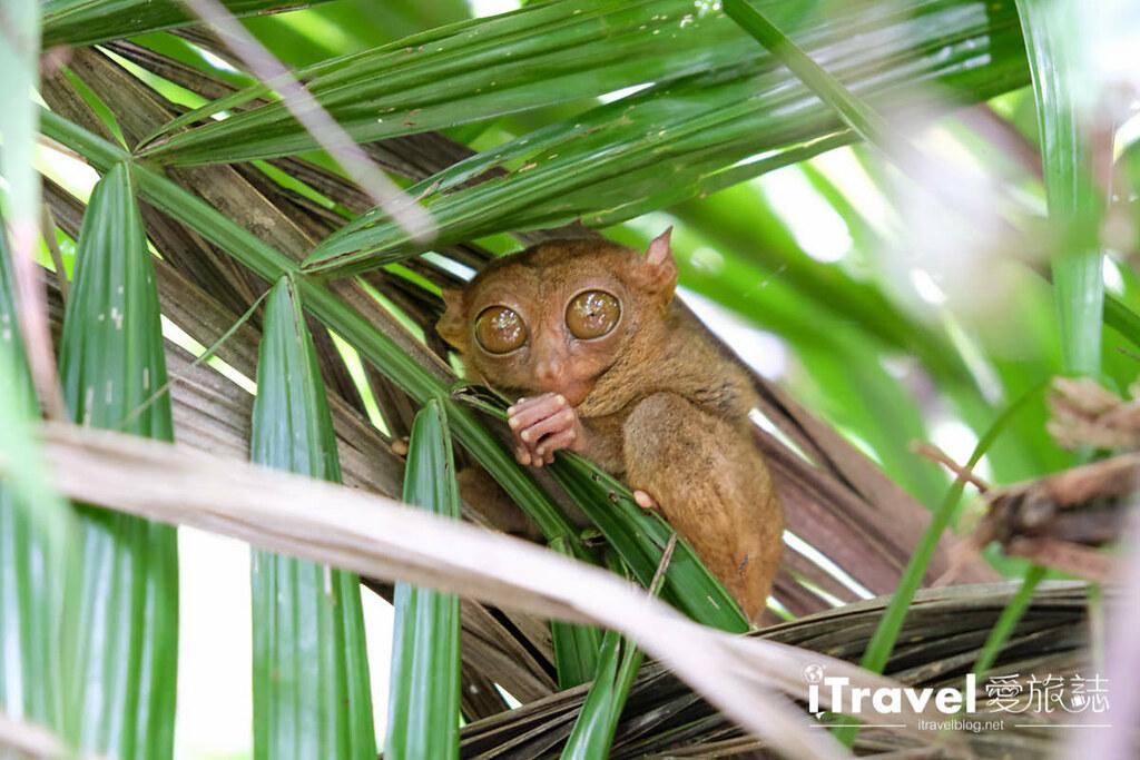 菲律宾薄荷岛眼镜猴保育中心 Tarsier Sanctuary (19)