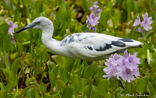 Young Little Blue in a Marsh of Water Hyacinth