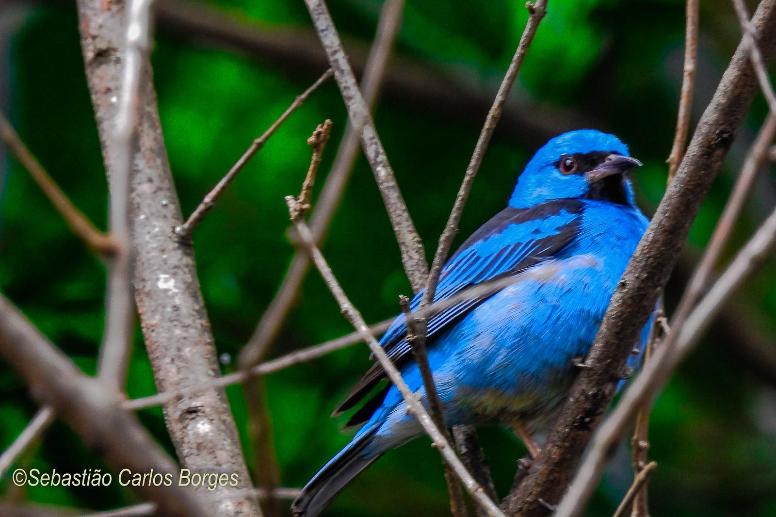 """Saí-azul """"macho"""" (Dacnis cayana)."""