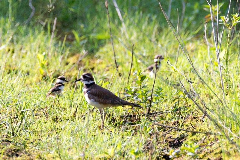 _DSC7342 Killdeer