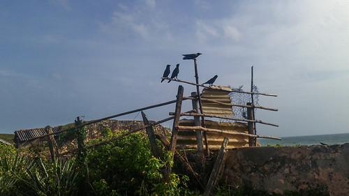 Black Birds At Galle Fort