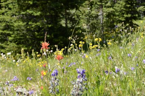 Manning Park wildflowers 1