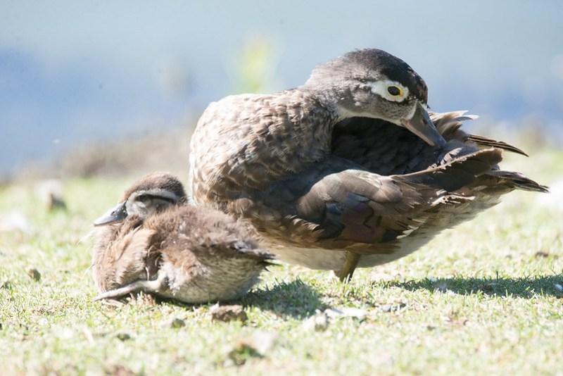 _DSC7898 Wood Duck