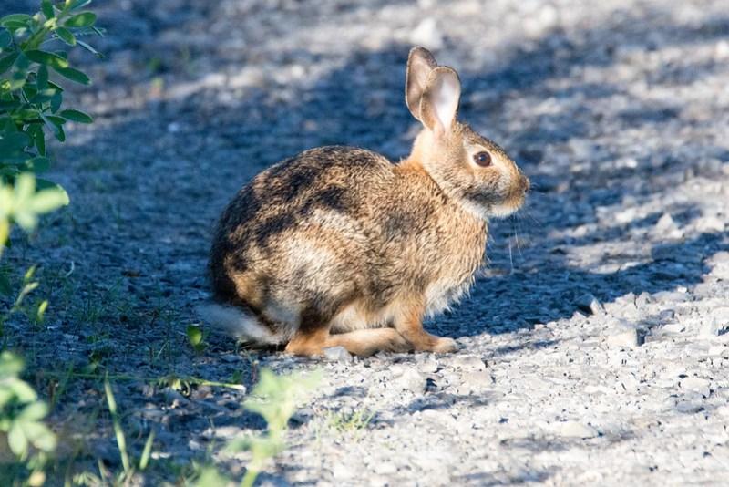 _DSC7795 Hare