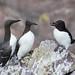 Guillemot de Troïl - Uria aalge - Common Murre et Pingouin Torda - Alca torda - Razorbill