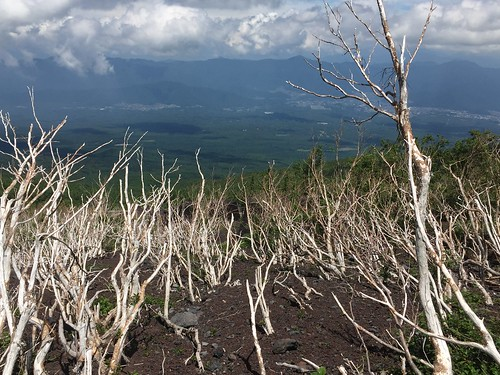 Slushflow-affected trees on the flank of Mt. Fuji