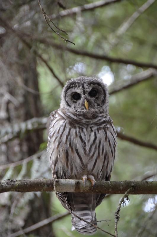 Big Owl at Chilliwack Lake