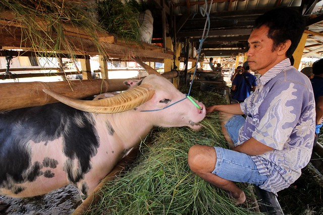700-Million Rupiah Water Buffalo at Bolu Market