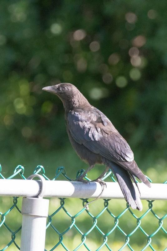 _DSC7915 American Crow