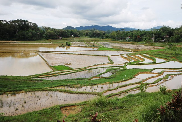 View of Rice Fields at Sallebayu Restaurant
