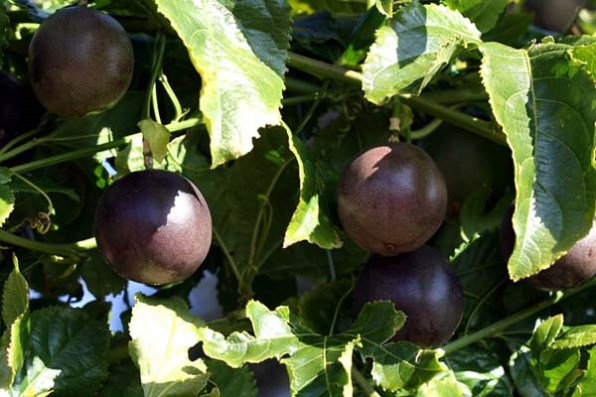 purple passion fruit varieties