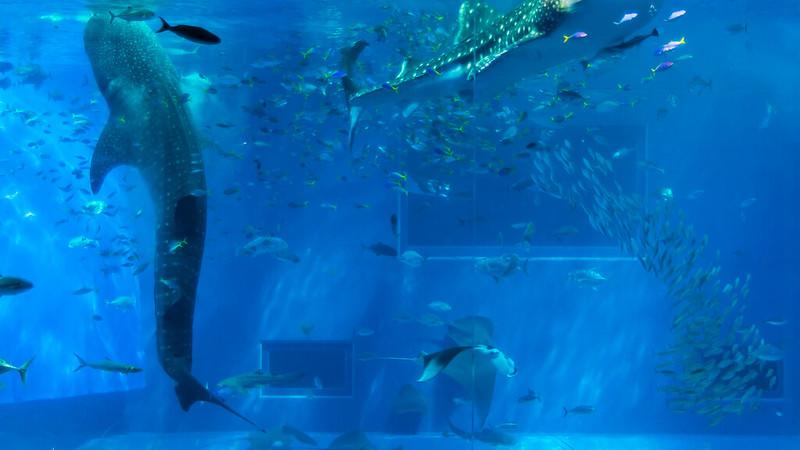 美麗海水族館 / Whale Shark