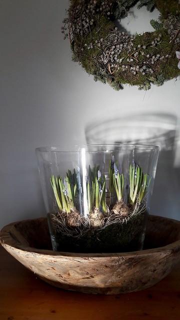 Blauwe druifjes in glazen pot