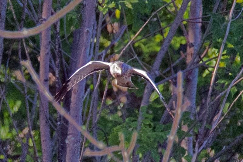 _DSC8326 Northern Harrier