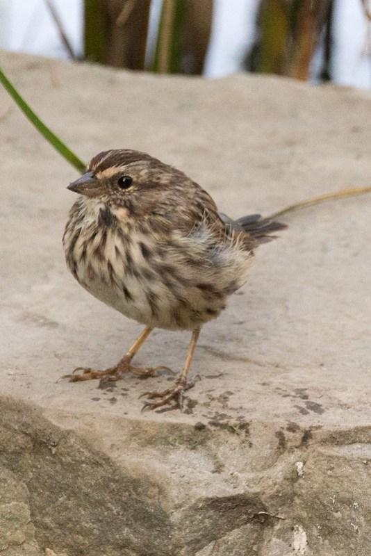 _DSC9823 Song Sparrow