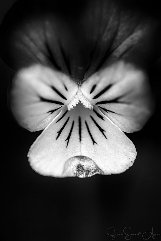 2017 WEEK 39: B&W with Soft Light by Jeanie Sumrall-Ajero. A yellow filter used during the B&W conversion helped to darken the purple petals at the top of the viola and blend them into the background while the yellow petal with the water drop became nearly white.