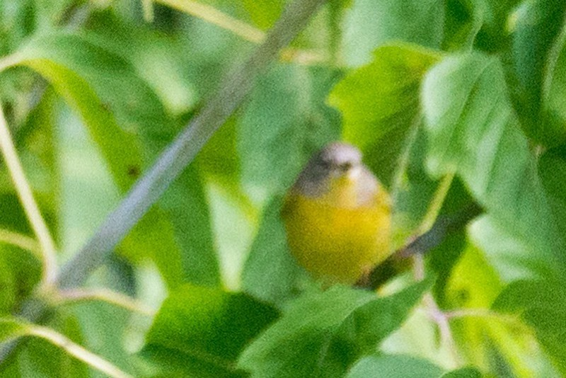 _DSC9013 Nashvile Warbler