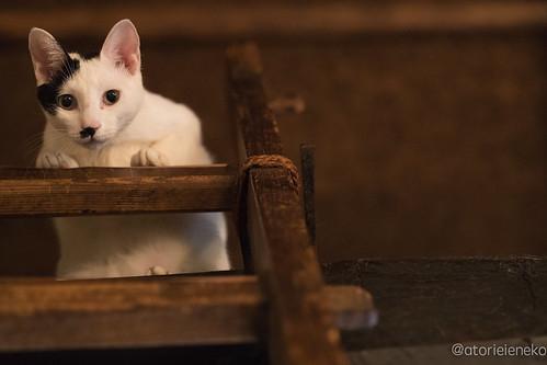アトリエイエネコ Cat Photographer 36849569821_4d77e11ca0 1日1猫! 喫茶のんのん(大阪市平野区長吉六反2丁目1−7) 1日1猫!  猫写真 猫 子猫 大阪 写真 保護猫 スマホ カメラ Kitten Cute cat