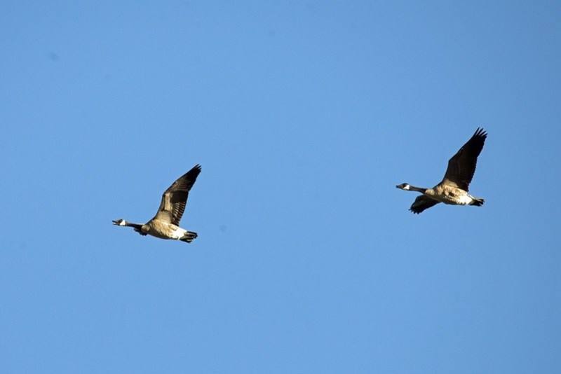 _DSC7982 canada goose