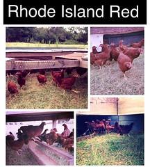 Emma Grace (age 12) still has about 15 Rhode Island Red chicks for sale. They are 12 weeks old and cost $12 each. #familyfarm #familyfriendlyfarming #farmkids