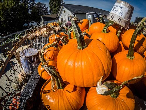 Schuh Farms and Pumpkins-008
