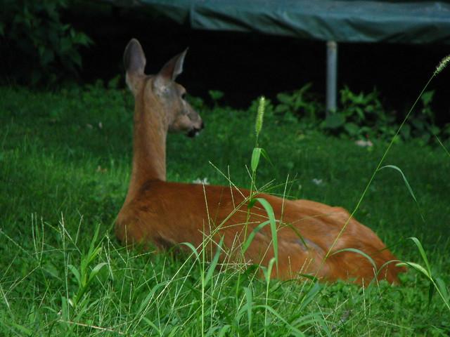 Deer in the yard