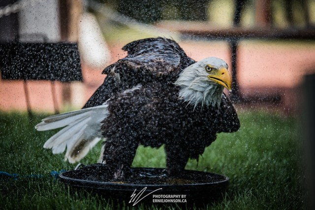 Bald Eagle enjoying a Bath