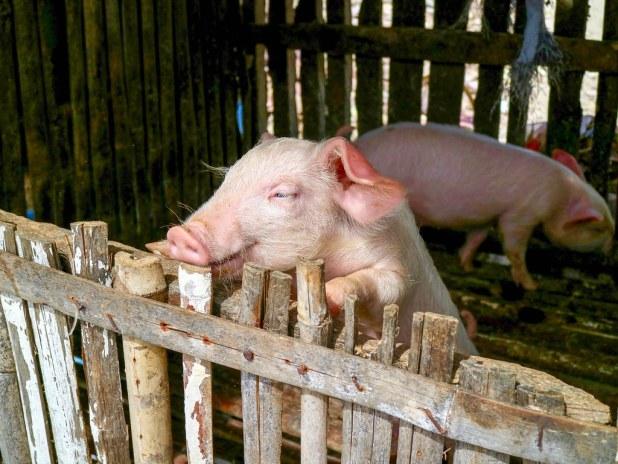 Cerdos en Bantayan