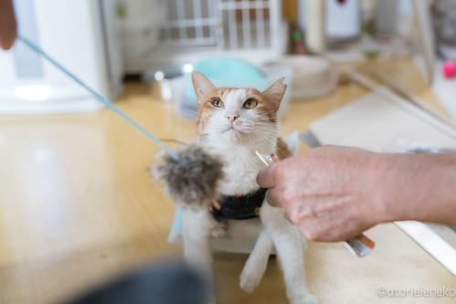 アトリエイエネコ Cat Photographer 37028085280_4e6887be08 高槻ねこのおうち 鈴ちゃんが旅立ちました 1日1猫!  高槻ねこのおうち 里親様募集中 猫 保護猫 cat