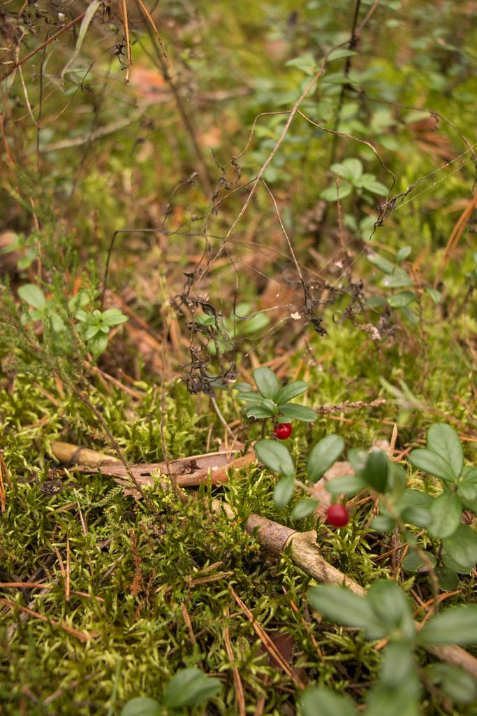 09.12. Pine Woods and Mushroom Picking