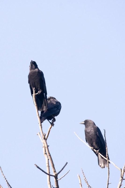 _DSC0664 American Crows