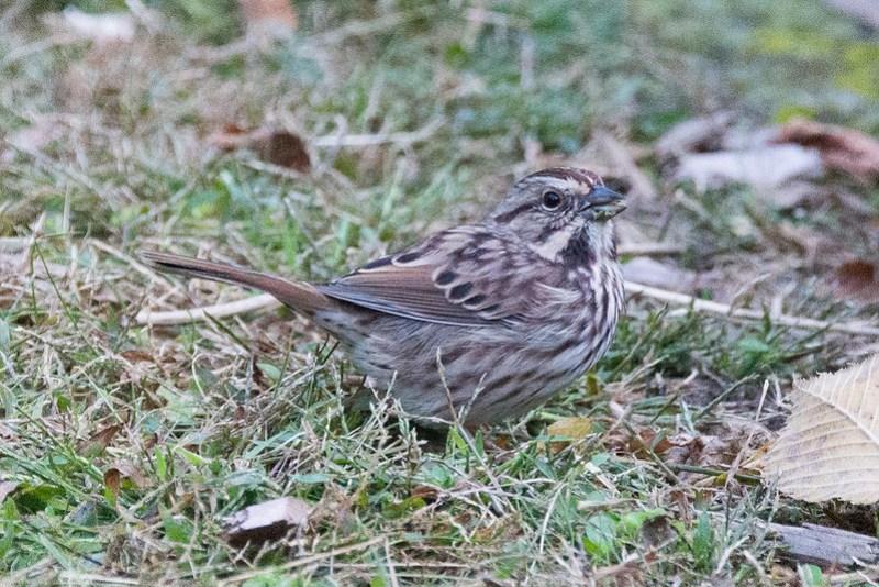 _DSC0426 Song Sparrow