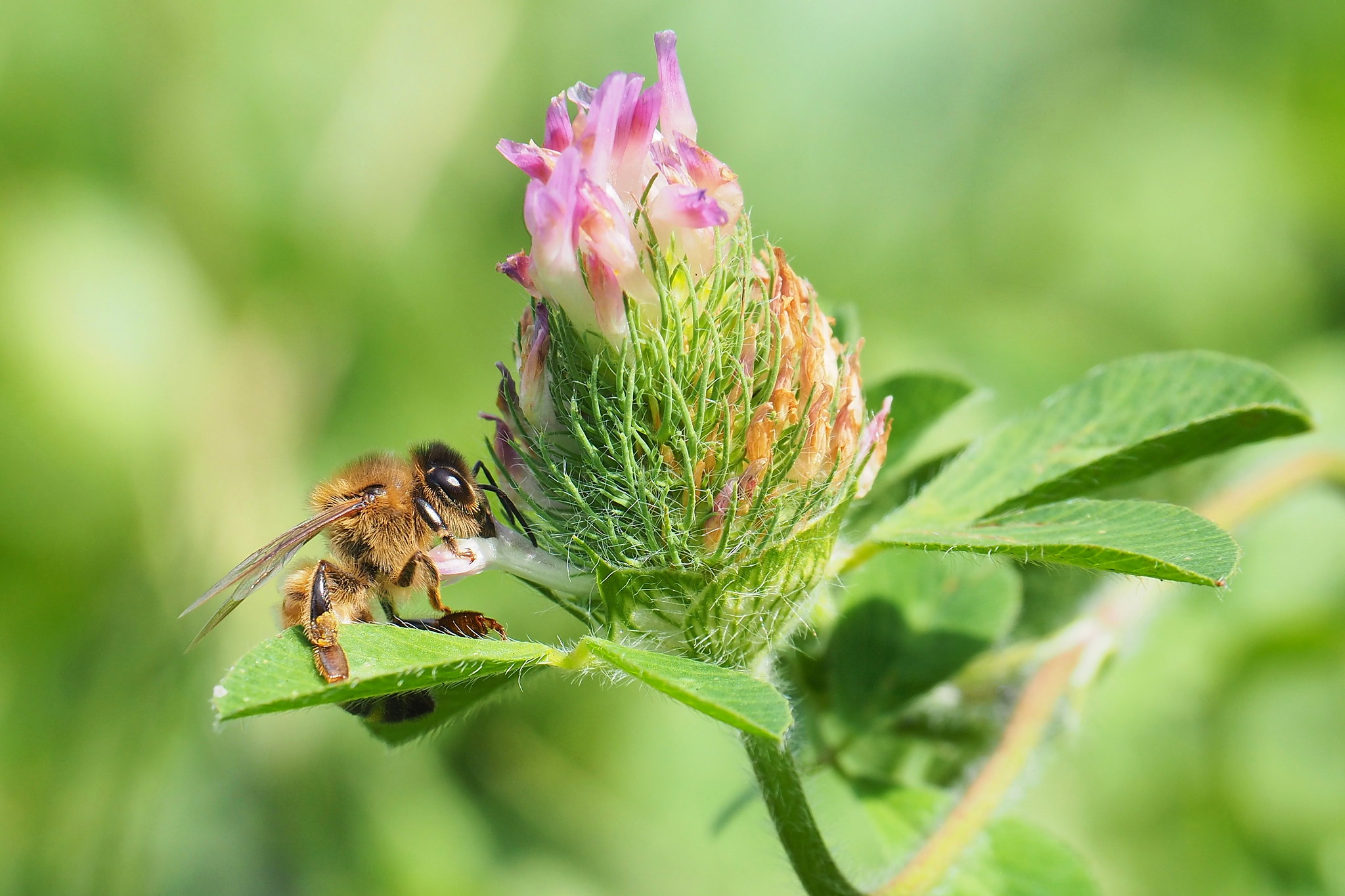 A bee on a clover flower