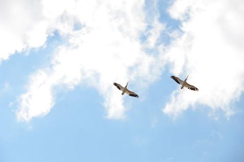 Great Falls Cranes overhead