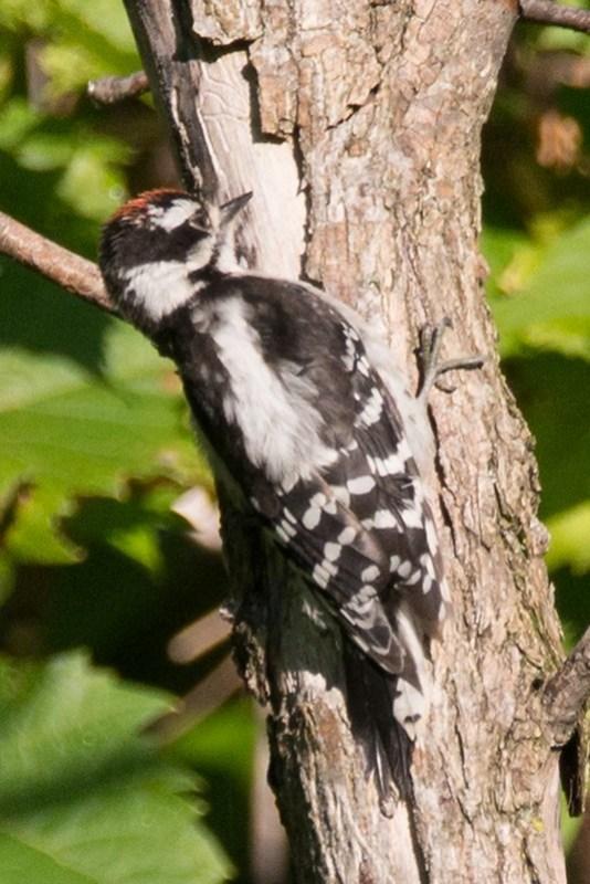 _DSC8055 Downy Woodpecker