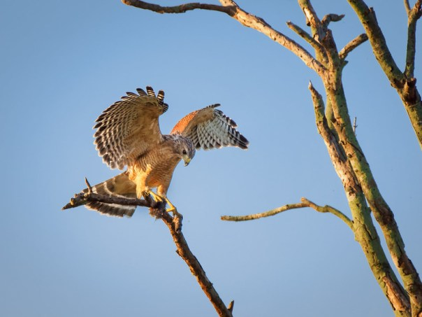 Red Shouldered Hawk with Field Mouse