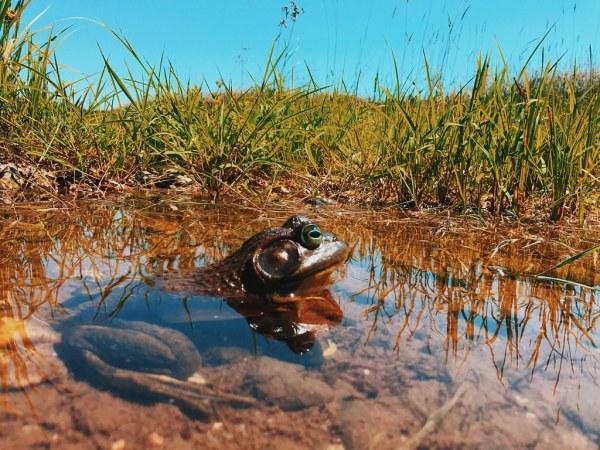 Hammond River Frog