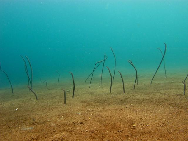 Freckled Garden Eels