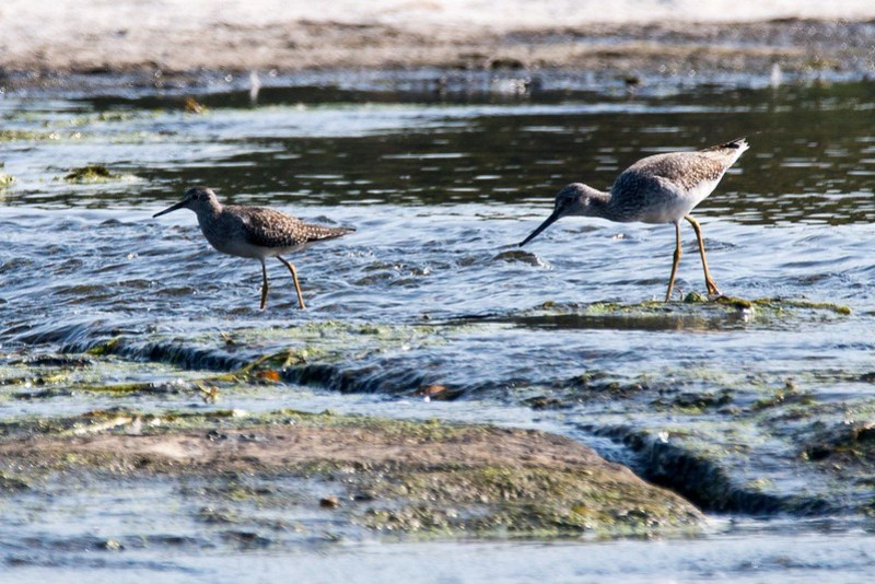 _DSC9649 Lesser and Greater Yellowlegs