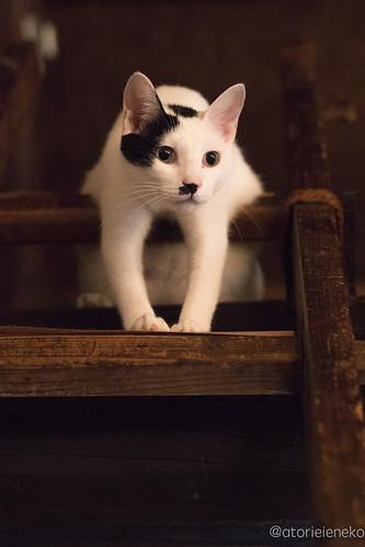 アトリエイエネコ Cat Photographer 36592672920_a43ff555c4 1日1猫! 喫茶のんのん(大阪市平野区長吉六反2丁目1−7) 1日1猫!  猫写真 猫 子猫 大阪 写真 保護猫 スマホ カメラ Kitten Cute cat