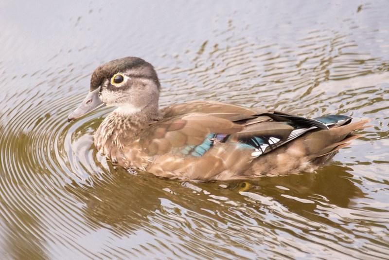 _DSC8926 Word Duck