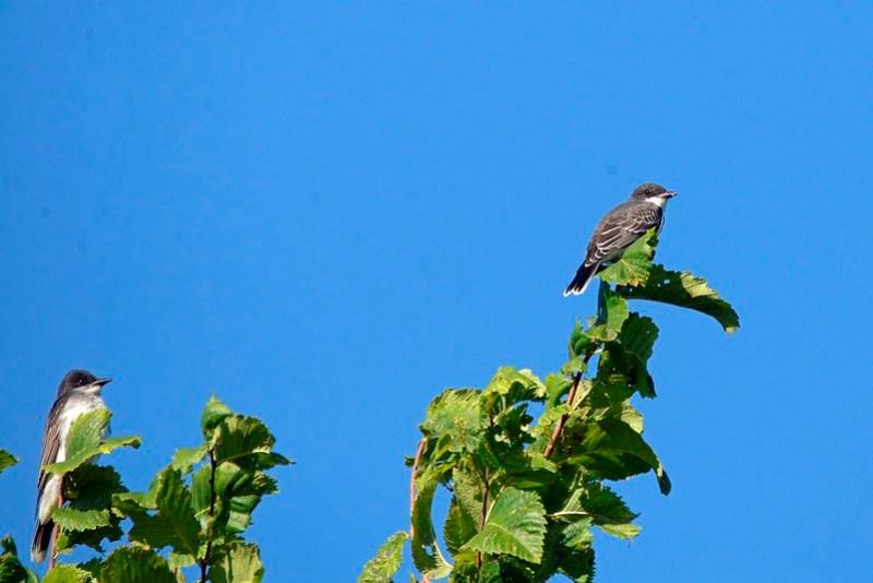 _DSC8126 Eastern Kingbird