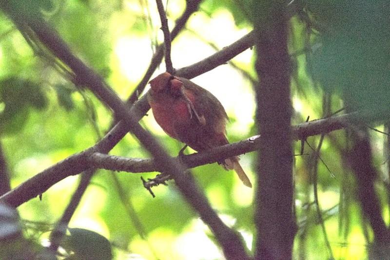 _DSC8945 Northern Cardinal
