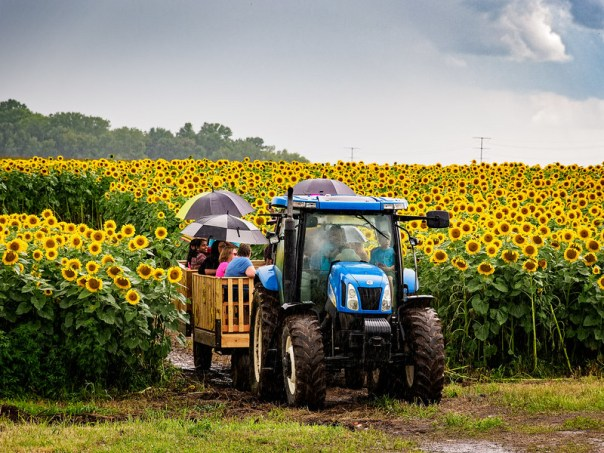 Riding in the rain through the sunflower fields