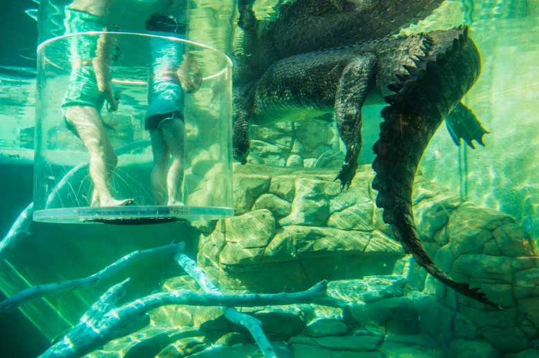 people swimming with australian saltwater crocodile