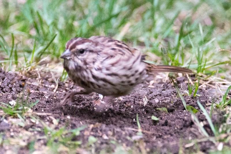 _DSC8843 Song Sparrow