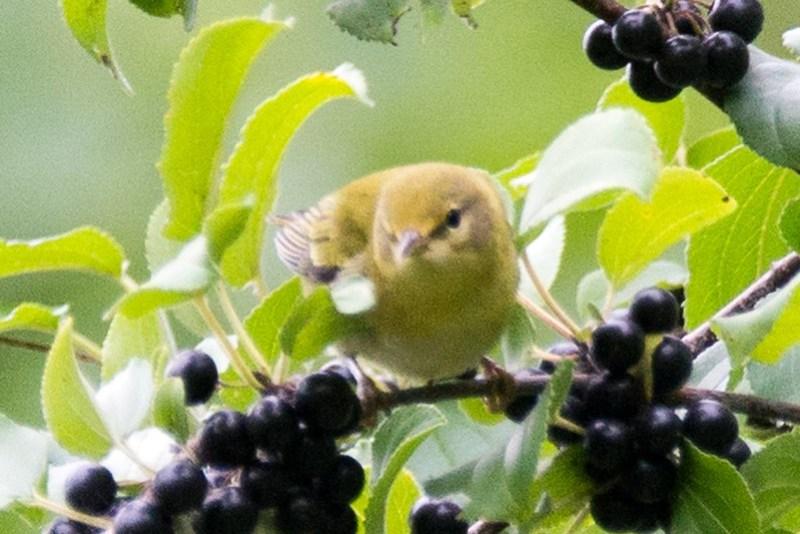 _DSC8869 Tennessee Warbler (Juvenile)