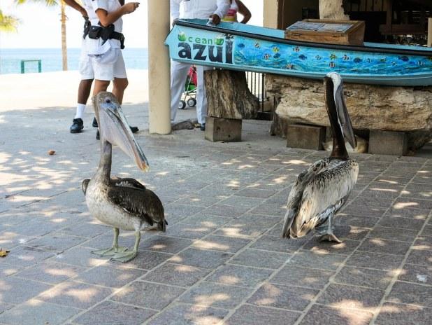 Pelícanos en México